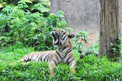 malayan τίγρη Στοκ εικόνα με δικαίωμα ελεύθερης χρήσης