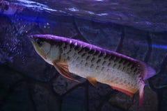 Malayan ψάρια bonytongue Στοκ Εικόνες
