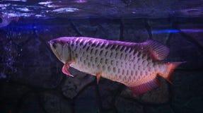 Malayan ψάρια bonytongue Στοκ φωτογραφία με δικαίωμα ελεύθερης χρήσης