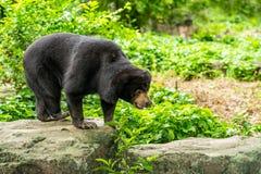 Malayan медведь Солнця стоит на утесе Стоковая Фотография