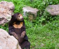 Malayan медведь солнца или медведь меда в брачном периоде Стоковые Изображения RF