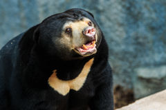 Malayan медведь солнца, медведь меда, медведь Стоковая Фотография