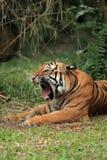 malayan тигр зевая Стоковое Фото
