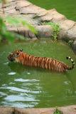 Malayan тигр купая стоковое изображение rf