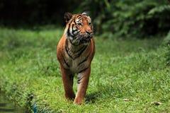 malayan тигр Стоковые Изображения