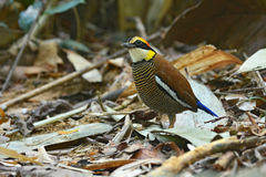 Malayan Banded Pitta bird Stock Images