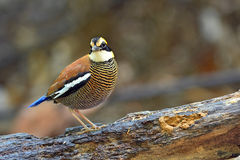 Malayan Banded Pitta bird Stock Image