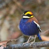 Malayan Banded Pitta bird Royalty Free Stock Photography
