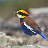 Malayan Banded Pitta bird Stock Photography