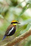 Malayan banded pitta Stock Photo