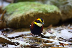 Malayan banded pitta Stock Images