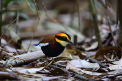 Malayan banded pitta Stock Photography