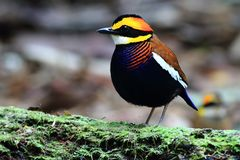 Malayan Banded Pitta male on the green timber stock images