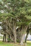 Malayan banyan tree Royalty Free Stock Photography
