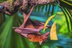 Malayan bat hanging on a tree branch Stock Photo