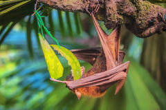 Malayan bat hanging on a tree branch Stock Photos