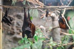 Malayan Bat (Pteropus vampyrus) hanging on a rope Royalty Free Stock Photography
