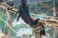 Malayan Bat (Pteropus vampyrus) hanging on a rope Royalty Free Stock Images