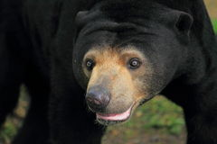 Malayan bear detail Stock Photos