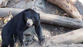 Malayan bear in the nature habitat. Helarctos malayanus.  stock video footage