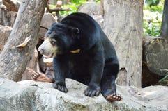 Malayan bear Royalty Free Stock Photo