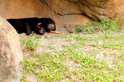 Malayan bear sleeping Stock Images