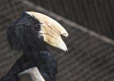 Malayan Black Hornbill Stock Image