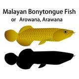 Malayan Bonytongue ryba, Arowana w wektorowym przedmiocie lub Fotografia Royalty Free