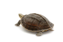 Malayan Box Turtle. (Cuora amboinensis) isolated on white background Stock Images