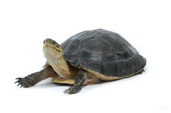 Malayan Box Turtle. (Cuora amboinensis) Isolated on white background Royalty Free Stock Photography