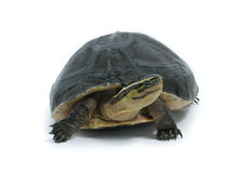 Malayan Box Turtle Stock Photo