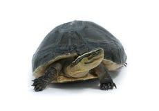 Malayan Box Turtle. (Cuora amboinensis) Isolated on white background Stock Photo