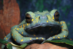 Malayan brown toad Stock Photography