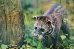 Malayan civet Stock Photos