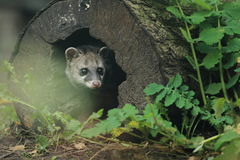 Malayan civet Royalty Free Stock Photography
