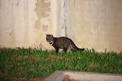 Malayan civet Royalty Free Stock Photography