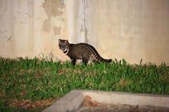 Malayan civet Stock Photo