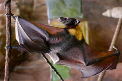 Malayan flying fox bat Stock Image
