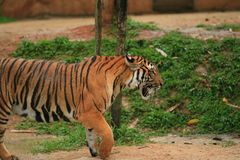 Malayan gå för tiger royaltyfri foto