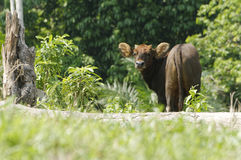 Malayan Gaur Royalty Free Stock Photos