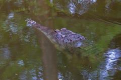 Malayan gharial Στοκ Φωτογραφία