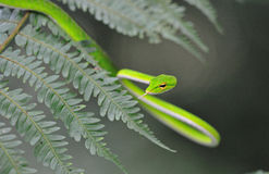 Malayan Green Whipsnake. On leaf royalty free stock photo