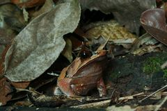 Malayan horned frog Stock Images