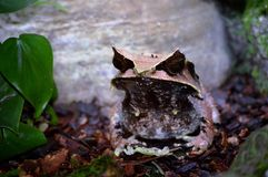 Malayan Horned Frog Stock Image