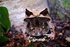 Malayan Horned Frog Royalty Free Stock Photography