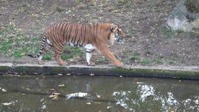 Malayan jacksoni Тигра пантеры тигра акции видеоматериалы