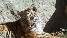 Malayan jacksoni Тигра пантеры тигра сток-видео