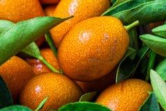 Malayan kumquat fortunella ulistnienie i owocowy makro- tło obrazy royalty free