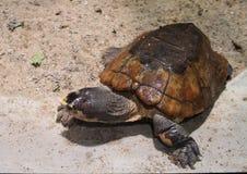 Malayan lägenhet-beskjuten sköldpadda Royaltyfri Foto