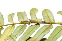 Malayan Lascar Lasippa tiga siaka caterpillars. Close up of Malayan Lascar Lasippa tiga siaka caterpillars on their host plant on white background royalty free stock photography